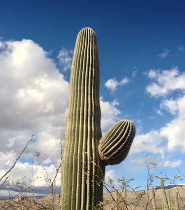 Saguaro_375